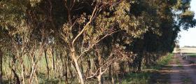 'Paddock trees' - Angela Hankinson (34 yrs)