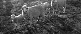 'Checking the sheep' - Asha Geier (13 yrs)