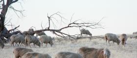 'White sheep' - by Karen Morgan (33 yrs)