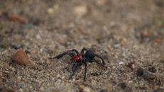 Red Headed Mouse Spider