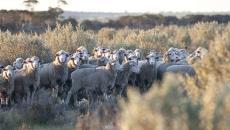 Livestock feed after heavy summer rains