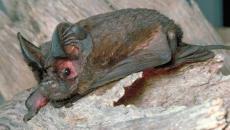 White-striped Free-tailed Bat - Tadarida australis