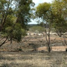 Sheep grazing in biodiverse agricultural system